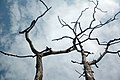 Dead tree (6290776453).jpg