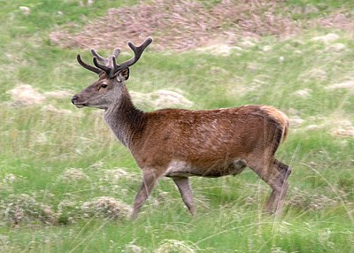Deer in Glenfinnan.jpg