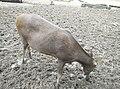 Deer in Zoo Negara Malaysia (20).jpg