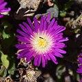Delosperma sutherlandii in Dunedin Botanic Garden 05.jpg