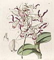 Dendrobium taurinum - Edwards vol 29 (NS 6) pl 28 (1843).jpg