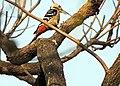 Dendrocopos macei at North Bengal University Campus.jpg