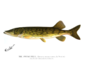 Denton Pickerel Hudson 1896.png