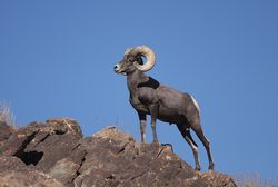 Desert Bighorn Sheep Joshua Tree 4.JPG