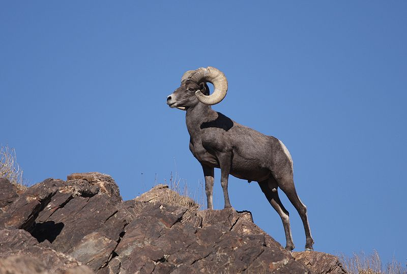 File:Desert Bighorn Sheep Joshua Tree 4.JPG