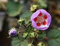 Desert Five-Spot (Eremalche rotundifolia).jpg