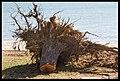 Destruction of Woody Point-12-Large (2924125004).jpg