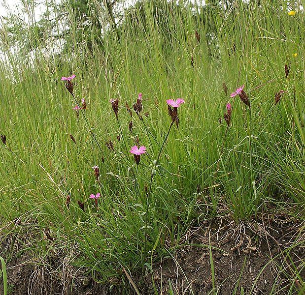 File:Dianthus carthusianorum 210505.jpg