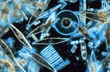 Diatoms through the microscope.jpg