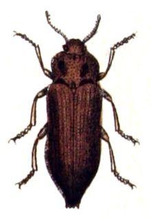 <i>Dicerca</i> Genus of beetles