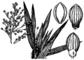 Dichanthelium oligosanthes (as Panicum scribnerianum) HC-1950.png