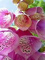 Digitalis-stora hultrum.sweden-33.jpg