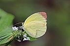 Dina yellow (Pyrisitia dina westwoodi).jpg
