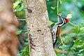 Dinopium benghalense (Black-rumped Flameback), Kerala.jpg
