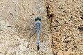 Diplacodes trivialis (ground skimmer).jpg