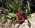 Dodonaea viscosa (5188012538).jpg
