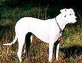 Dogo Argentino.jpg