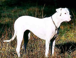 Dogo Argentino - A Dogo Argentino with uncropped ears