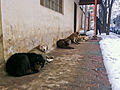 Dogs huddle for warmth in snowy Kabul (5473545410).jpg