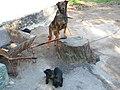 Dogs in Turbiv (Mar 2020) 2.jpg