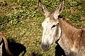 Donkey (73054961).jpeg