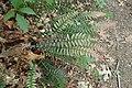 Doodia australis kz2.jpg
