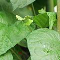 Dorstenia arifolia-IMG 1600.jpg