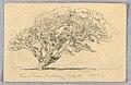 Drawing, Studies. Trees, Santa Barbara, California, 1888 (CH 18368887).jpg