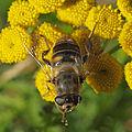 Drone Fly female - Eristalis tenax (11954305816).jpg