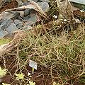 Drosera binata HabitusInflorescences BotGardBln0806b.jpg