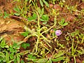 Drosera indica from Madayipara DSCN2598.jpg