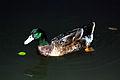 Duck 2 (2951603548).jpg