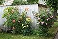 Duftrosen Anfang Juni - Flickr - blumenbiene.jpg