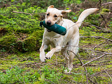 a white lab playing fetch in the forest
