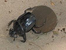 O rola-bosta ou vira-bosta é um tipo de escaravelho que coleta e transporta, rolando para trás, utilizando as pernas trazeiras, excremento coletado e posto em forma de bola, numa quantidade mais-ou-menos proporcional ao tamanho de seu próprio corpo, motivado pela própria reprodução biológica.