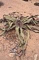 Dunst Namibia Oct 2002 slide316 - Welwitschia.jpg
