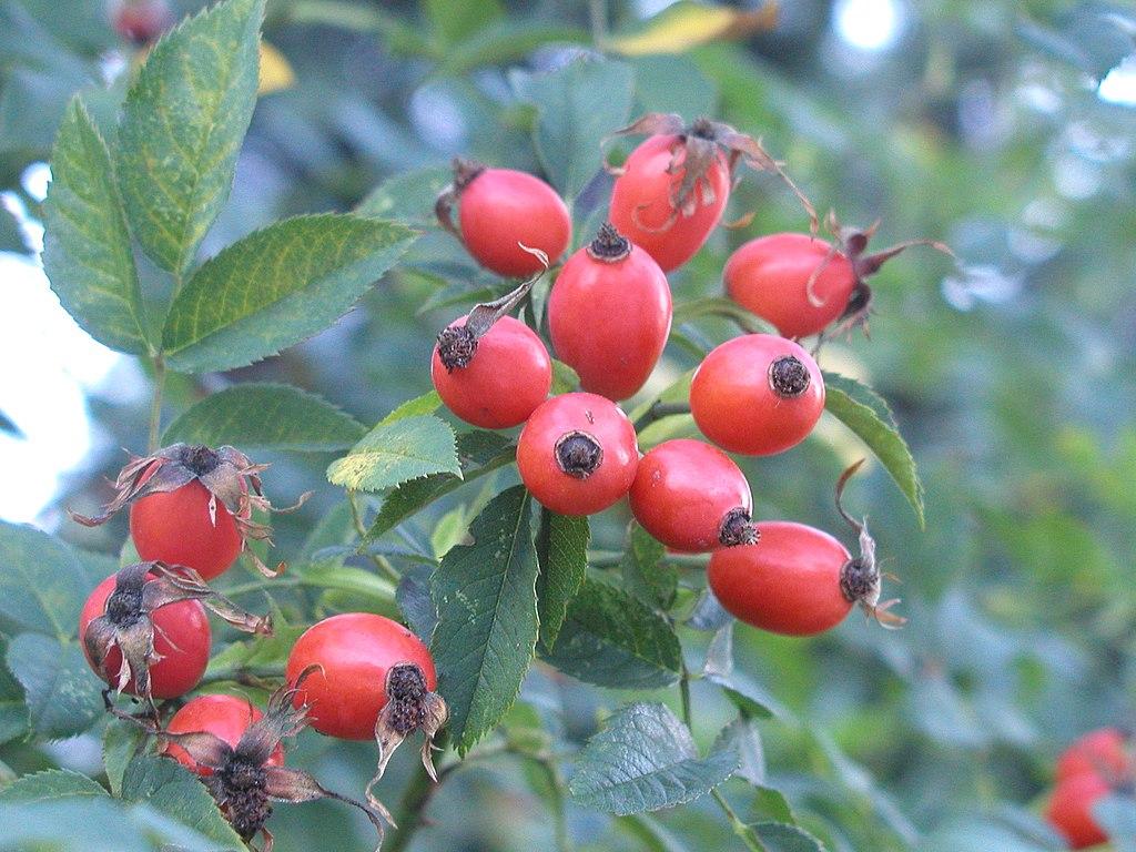 Ruža šípová - plody (šípky)