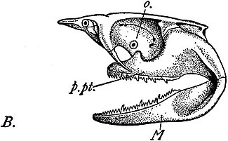 EB1911 Ichthyology - Chondrocranium etc. of Notidanus cinereus.jpg