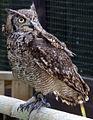 Eagle Owl 3 (5638427669).jpg