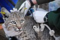 Ear-Tagged Bobcat (12211080643).jpg