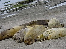 Photo of seven adult and juvenile southern elephant seals packed closely on beach