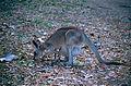 Eastern Gray Kangaroos (Macropus giganteus) (9918664323).jpg