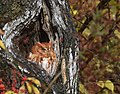 Eastern Screech Owl (31443082675).jpg