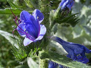 Gewöhnlicher Natternkopf (Echium vulgare), Blüte