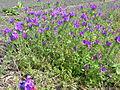 Echium plantagineum plant3 (13919109526).jpg