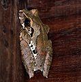 Efulen Forest Treefrog (Leptopelis calcaratus) (7645726788).jpg