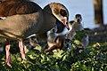 Egyptian geese family.jpg
