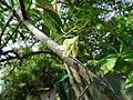 Elaeocarpus ganitrus 02.jpg