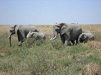 Dvě sloní samice s mláďaty