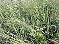 Elymus repens en trigo.jpg